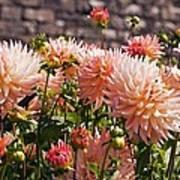 Dahlia Flowers Poster