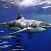 A Great White Shark Swims In Clear Poster by Mauricio Handler