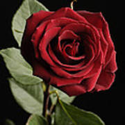 A Red Rose Rosaceae Poster