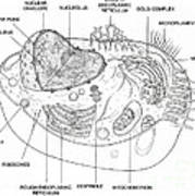 Animal Cell Diagram Poster