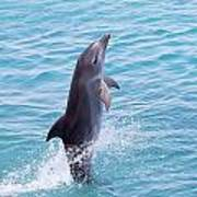 Atlantic Bottlenose Dolphin Poster