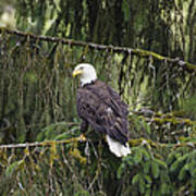 Bald Eagle Haliaeetus Leucocephalus Poster