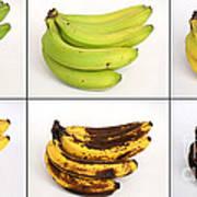 Banana Ripening Sequence Poster