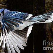 Blue Jay In Flight Poster