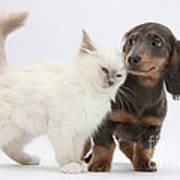 Blue-point Kitten & Dachshund Poster