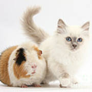 Blue-point Kitten And Guinea Pig Poster