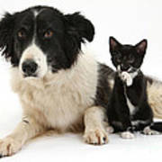 Border Collie And Tuxedo Kitten Poster