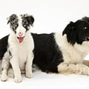Border Collies Poster