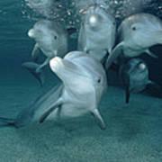 Bottlenose Dolphin Underwater Pair Poster