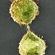 Cell Division, Sem Poster