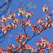 Close View Of Pink Dogwood Blossoms Poster