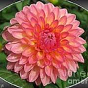 Dahlia Named Hillcrest Suffusion Poster