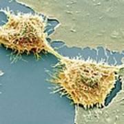 Dividing Hela Cells, Sem Poster