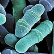 Dividing Yeast Cells, Sem Poster
