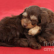 Doxie-doodle Puppies Poster