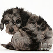 Doxie-doodle Puppy Poster