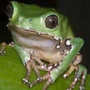 Giant Monkey Frog Poster