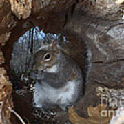 Gray Squirrel Poster by Ted Kinsman