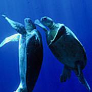 Green Turtles Mating Poster