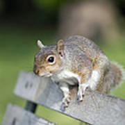 Grey Squirrel Poster by Georgette Douwma