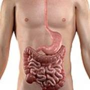 Healthy Digestive System, Artwork Poster