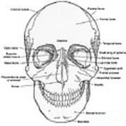 Illustration Of Anterior Skull Poster