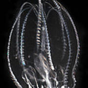 Northern Comb Jelly Poster
