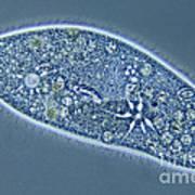 Paramecium Caudatum Poster by M. I. Walker
