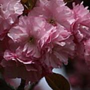 Precious Cherry Blossom Poster