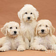 Puppies Poster