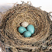Robins Nest And Cowbird Egg Poster