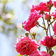 Roses Poster by Gal Ashkenazi