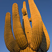 Saguaro Carnegiea Gigantea Cactus Poster