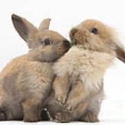 Sandy Rabbits Sharing Grass Poster
