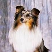 Shetland Sheepdog Portrait Of A Dog Poster
