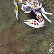 Spotted Porcelain Crab Feeding Poster by Steve Jones
