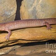 Spring Salamander Poster