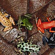 Strawberry Poison Dart Frog Dendrobates Poster