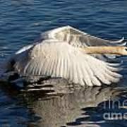 Swan Poster