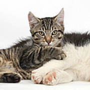Tabby Kitten & Border Collie Poster by Mark Taylor