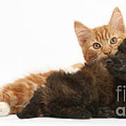 Toy Poodle Puppy With Kitten Poster