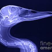 X-ray Of A Mallard Duck Head Poster