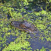 31- Alligator Hatchling Poster