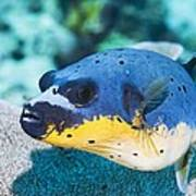 Blackspotted Puffer Poster by Georgette Douwma