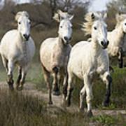 Camargue Horse Equus Caballus Group Poster