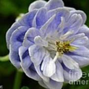 Double Columbine Named Light Blue Poster