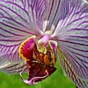 Exotic Orchids Of C Ribet Poster