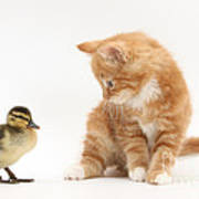 Ginger Kitten And Mallard Duckling Poster