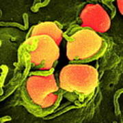 Gonorrhoea Bacteria, Sem Poster by