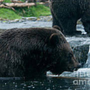 Grizzly Bear Or Brown Bear Poster